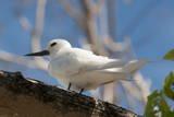 Common White-Tern (Gygis Alba)  Denis Island  Seychelles  Indian Ocean  Africa