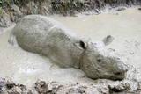 Female Sumatran Rhino (Borneo Rhino) (Dicerorhinus Sumatrensis) in Wallow