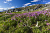 Dwarf Fireweed (River Beauty Willowherb) (Chamerion Latifolium)