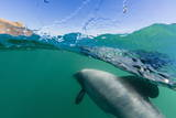 Adult Hector's Dolphins (Cephalorhynchus Hectori) Underwater Near Akaroa