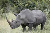 White Rhinoceros (Ceratotherium Simum), Kruger National Park, South Africa, Africa Papier Photo par James Hager