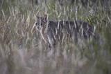 African Wild Cat (Felis Silvestris Lybica)  Kruger National Park  South Africa  Africa