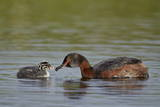 Horned Grebe (Podiceps Auritus) Female Feeding a Chick  Lake Myvatn  Iceland  Polar Regions