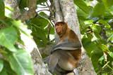 Male Proboscis Monkey (Narsalis Larvatus) Is