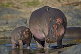 Hippopotamus (Hippopotamus Amphibius) Mother and Calf Papier Photo par James Hager