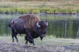 Lone Bison (Buffalo) (Bison Bison)