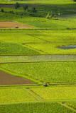 Taro Fields Near Hanalei on the Island of Kauai  Hawaii  United States of America  Pacific