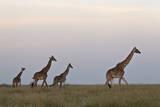 Four Masai Giraffe (Giraffa Camelopardalis Tippelskirchi)