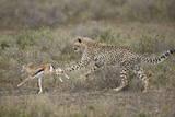 Cheetah (Acinonyx Jubatus) Cub Chasing a Baby Thomson's Gazelle (Gazella Thomsonii)
