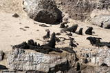 Cape Fur Seals  Cape Town  South Africa  Africa