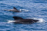 Adult Female and Male Long-Finned Pilot Whales (Globicephala Melas)