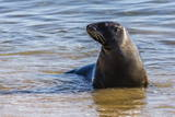 Adult New Zealand (Hooker'S) Sea Lion (Phocarctos Hookeri)