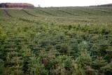 Christmas Tree Harvest  Invernesshire  Scotland  Uk