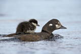Harlequin Duck (Histrionicus Histrionicus) Duckling Riding