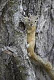 Tree Squirrel (Smith's Bush Squirrel) (Yellow-Footed Squirrel) (Paraxerus Cepapi)