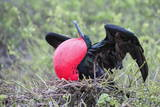 Great Frigatebird Male (Fregata Minori)