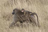 Olive Baboon (Papio Cynocephalus Anubis) Infant Riding