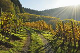 Vineyard Landscape  Ortenau  Baden Wine Route  Baden-Wurttemberg  Germany  Europe