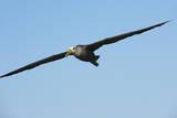 Waved Albatross (Phoebastria Irrorata) in Flight