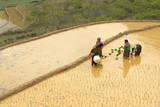 Flower Hmong Ethnic Group Women Working in the Rice Field