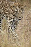 Leopard (Panthera Pardus) Walking Through Dry Grass  Kruger National Park  South Africa  Africa