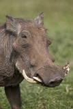 Warthog (Phacochoerus Aethiopicus)  Ngorongoro Crater  Tanzania  East Africa  Africa