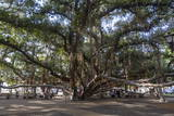 Banyan Tree  Lahaina  Maui  Hawaii  United States of America  Pacific