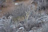 African Wild Cat (Felis Silvestris Lybica)