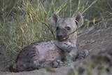 Spotted Hyena (Spotted Hyaena) (Crocuta Crocuta) Pup Playing