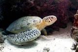 Green Sea Turtles (Chelonia Mydas) Common at Pom Pom Island