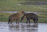 Two Spotted Hyena (Spotted Hyaena) (Crocuta Crocuta)