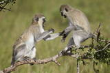 Two Vervet Monkeys (Chlorocebus Aethiops) Playing