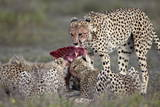 Cheetah (Acinonyx Jubatus) Family at a Kill  Serengeti National Park  Tanzania  East Africa  Africa