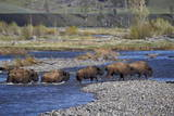 Line of Bison (Bison Bison) Crossing the Lamar River