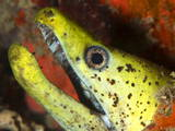 The Yellow Moray Eel
