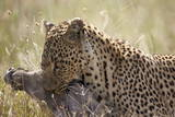 Leopard (Panthera Pardus) Carrying a Warthog