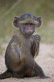 Young Chacma Baboon (Papio Ursinus)  Kruger National Park  South Africa  Africa