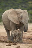 African Elephant (Loxodonta Africana) Mother and Baby