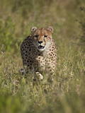 Cheetah (Acinonyx Jubatus)  Kruger National Park  South Africa  Africa