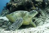 Green Sea Turtles (Chelonia Mydas) Common around Pom Pom Island