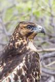 Immature Galapagos Hawk (Buteo Galapagoensis) in Urbina Bay