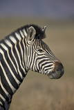 Common Zebra (Plains Zebra) (Burchell's Zebra) (Equus Burchelli)