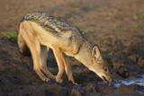 Black-Backed Jackal (Silver-Backed Jackal) (Canis Mesomelas) Drinking