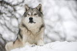 North American Timber Wolf (Canis Lupus) in Forest Papier Photo par Louise Murray