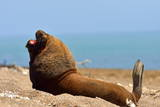 South American Sea Lion (Otaria Flavescens) Adult Male