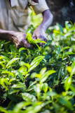 Hands of a Tea Picker Picking Tea in the Sri Lanka Central Highlands  Tea Country  Sri Lanka  Asia