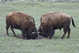 Two Bison (Bison Bison) Bulls Sparring