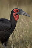 Southern Ground-Hornbill or Ground Hornbill (Bucorvus Leadbeateri) Adult