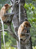 Adult Female Proboscis Monkey (Nasalis Larvatus)