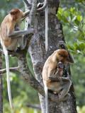 Adult Female Proboscis Monkey (Nasalis Larvatus)